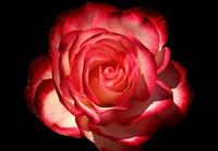 Rose Cherry Parfait