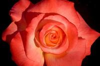 Rose Crescendo
