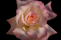 """PHOTO BY LOU PAVLOVICH - Roses such as """"Secret"""" can be seen at the 2015 Tucson Rose Show."""