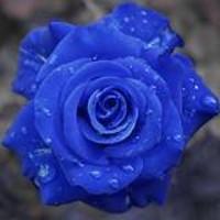 blue_rose_jpg-magnum.jpg