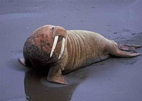 6e3bf6eb_walrus-by-bill-hickey-usfws.jpg