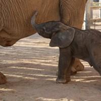 Reid Park Zoo Welcomes New Baby Elephant to the Herd
