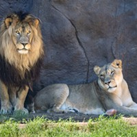 Reid Park announced the passing of African lion Shombay