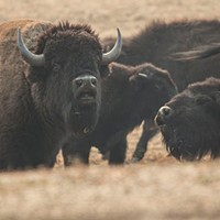 Sharpshooters could target Grand Canyon bison by 2021 under herd plan