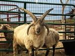 Buffy the Churro sheep - BRIAN SMITH