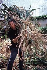 Mark carrying foder (sorghum stalk) after a grain harvest. - ABIGAIL ALLING