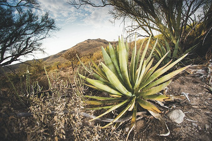 tumamoc_hill_tour_agave_jacob_chinn_june17-agave_uaaa.jpg