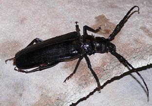 Palo Verde Beetle - CREATIVECOMMONS