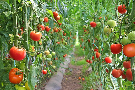 Imported Tomatoes from Mexico worth $4 8 billion in U S