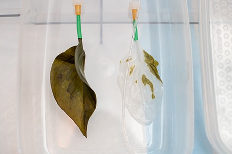 A healthy leaf compared to a leaf stripped of its cells, and able to have animal cells installed within. - COURTESY PHOTO