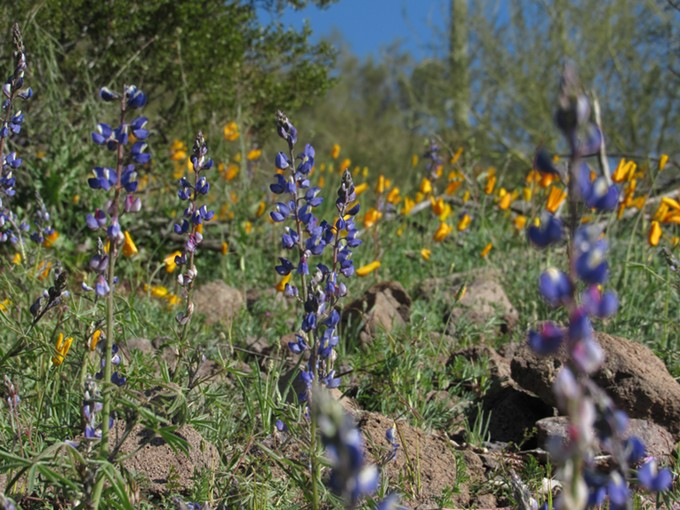 Poppies and lupines at Picacho Peak State Park on Sunday, Feb 24, 2019. - IAN GREEN
