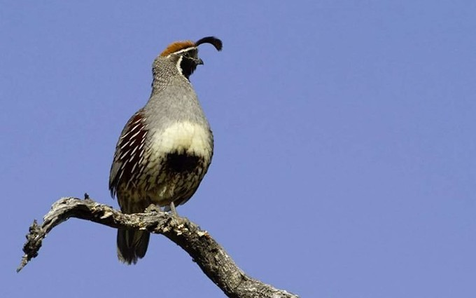 The Gambel's Quail with its dangling plume is one of this summer's themes. - COURTESY OF THE SABINO CANYON VOLUNTEER NATURALISTS