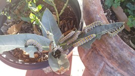 monsoon_pollinator_gardening.jpg