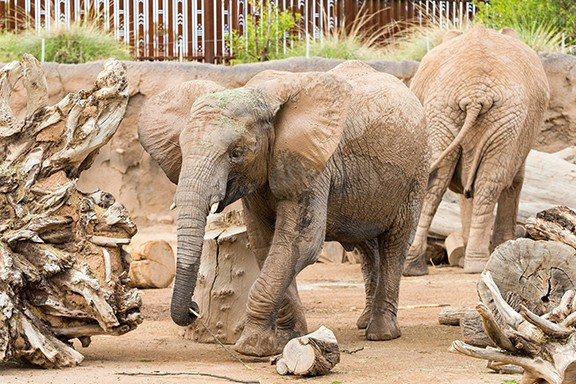Nandi the elephant. - COURTESY REID PARK ZOO
