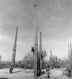 The Arizona State Museum has recently put selections from its massive photo collection on display, including a striking black-and-white photo by Helga Teiwes that shows O'odham member Juanita Ahill collecting fruit from a gargantuan saguaro in 1970 under a limitless sky.