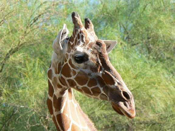 Elinor the giraffe - COURTESY PHOTO