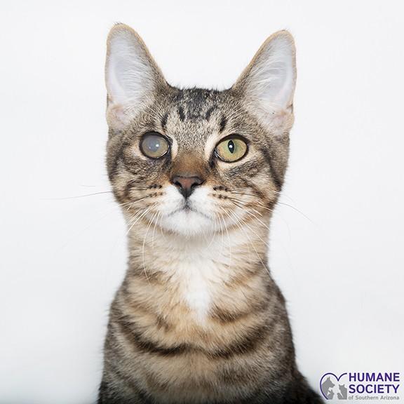 Kaito the cat - HUMANE SOCIETY OF SOUTHERN ARIZONA