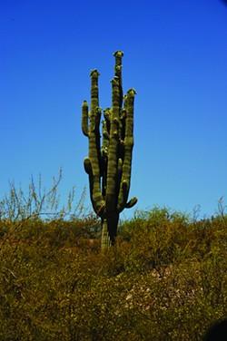 saguaro1_yetman.jpg