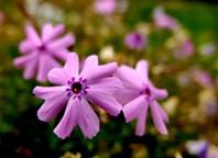 Moss Phlox flowers. - BIGSTOCK