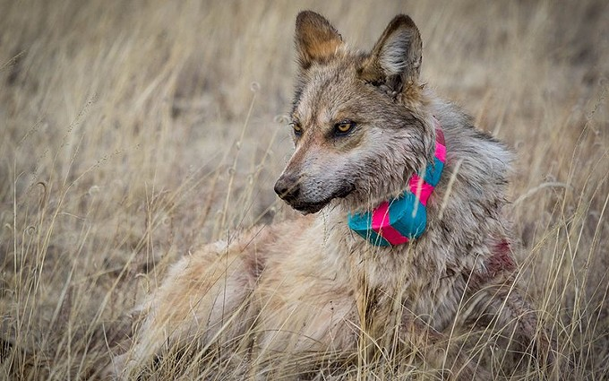 Researchers fitted this  Mexican gray wolf with a radio collar in 2018. Tracking the animals in the wild is part of a decades-long effort to reintroduce the subspecies, which was nearly extinct in the 1970s. - JENNA MILLER/CRONKITE NEWS