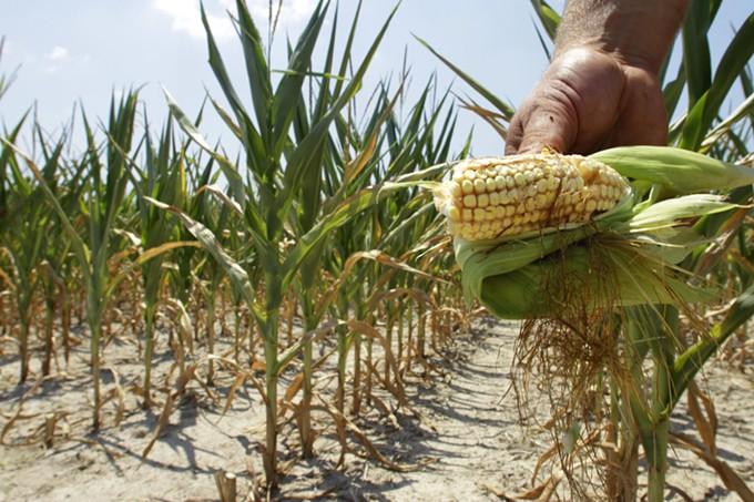Corn yields can suffer in high heat. - SETH PERLMAN   ASSOCIATED PRESS/THE CONVERSATION VIA ARIZONA MIRROR
