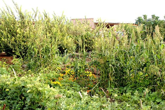 The lush Mission Garden will be the finale of this urban farm tour. - HEATHER HOCH