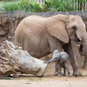 Celebrate Nandi the Elephant's Birthday!