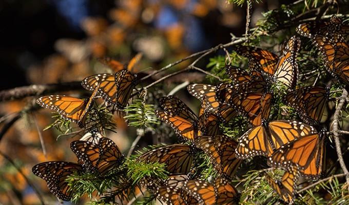 Monarch Butterflies gathering on an Oyamel tree.