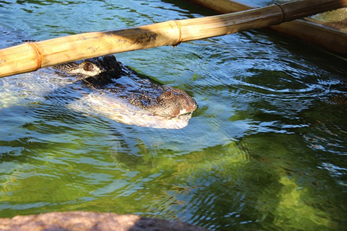 Bayou the alligator.