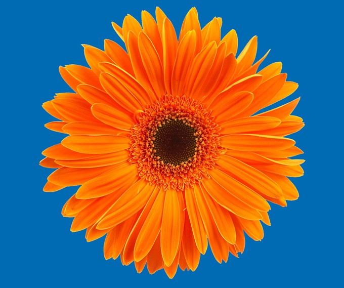 bigstock-daisy-539127.jpg
