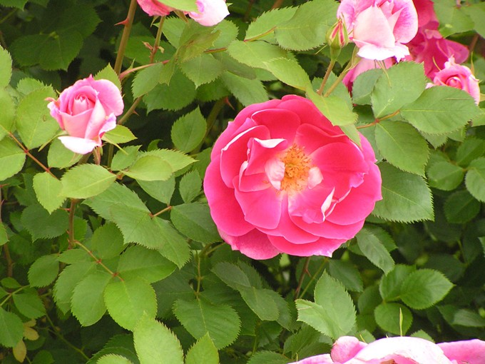 bigstock-rose-bush-571831.jpg