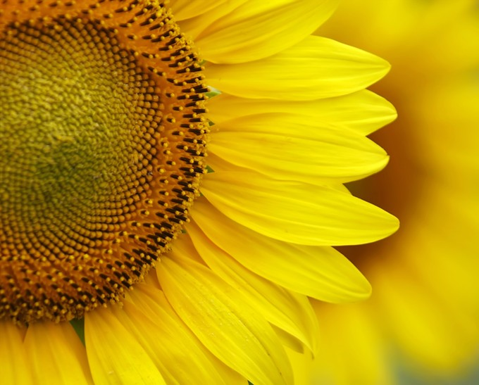 bigstock-sunflower-close-up-26363303.jpg