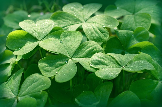 bigstock-clover-in-meadow--clover-leav-108844616.jpg