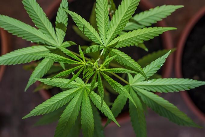 bigstock-home-farming-marihuana-plants-87561947.jpg