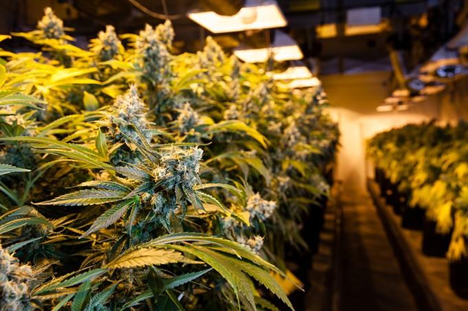 bigstock-indoor-marijuana-bud-under-lig-113630573.jpg