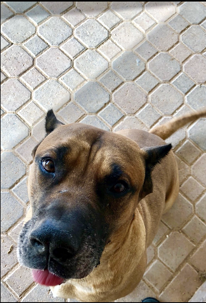 Mastiff Odin is one of the many dogs available for adoption on Save the Pets AZ's website. - COURTESY PHOTO