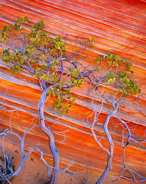 Manzanita, Vermilion Cliffs National Monument, AZ 2009 - JACK DYKINGA