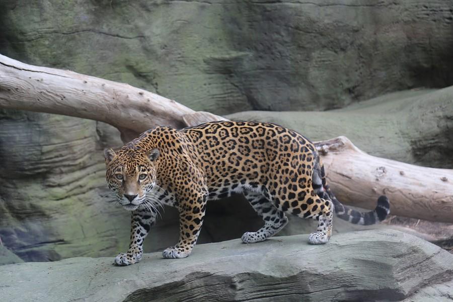 Bella the jaguar - REID PARK ZOO