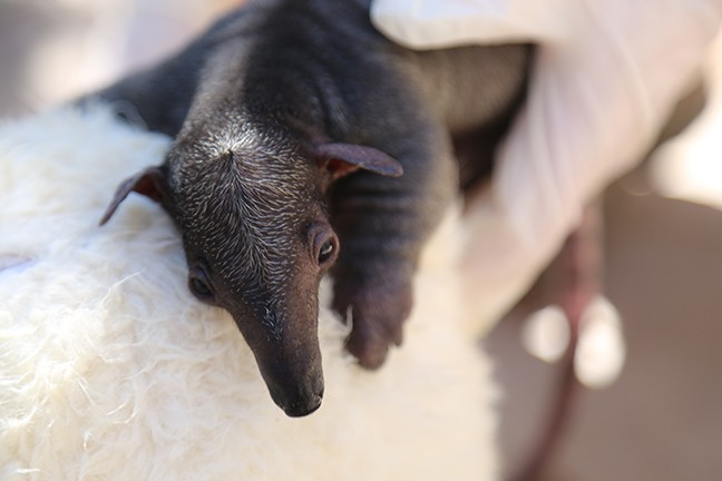 The new baby tamandua born at the Reid Park Zoo. - REID PARK ZOO