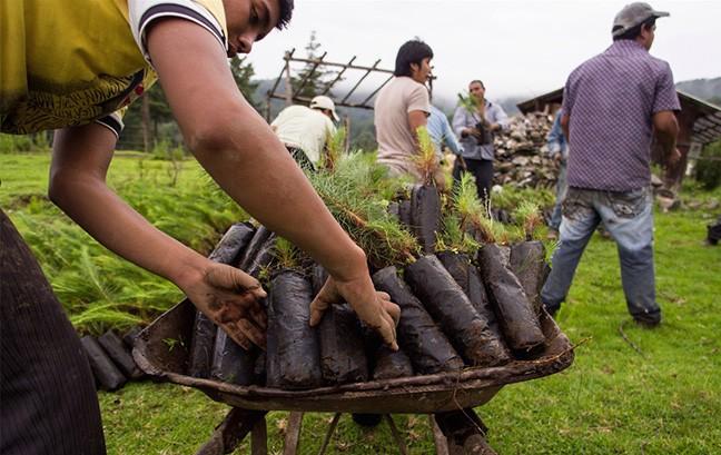 Donaciano Ojeda locals replanting trees. - COURTESY