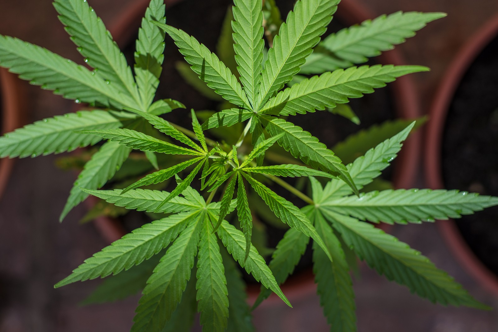 a history of marijuana the recreational drug