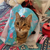 Production Manager Alex's cat loves gift wrap