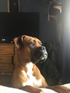 General Manager Jaime's sweet boxer gazes longingly out the window.