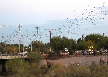 See the colony of bats under Campbell bridge