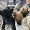 Influx of Animals Surrendered to PACC
