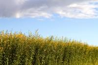 BIGSTOCK - Industrial hemp field