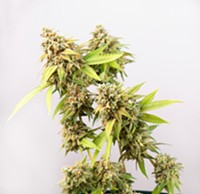 BIGSTOCK - Cannabis cola (Thousand Oaks marijuana strain) in late flowering stage