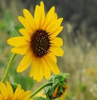 sunflower_1_jpg-magnum.jpg